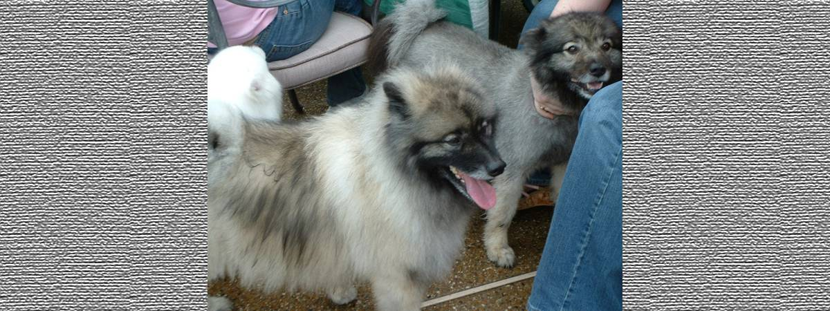 Keeshond Rescue Formally Texas ...